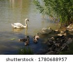 Swan Family With A White Large...