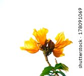Small photo of Orange Flowers of African Tulip Tree isolated on white background