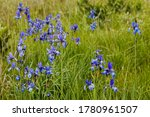 Growing In Natural Site Blue...