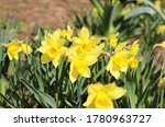 Narcissus Flowers Blossoming I...