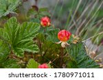 Charming Cloudberry  Rubus...