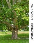 Huge London Plane Maple Tree On ...