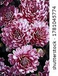 Pink Chrysanthemum Flowering...