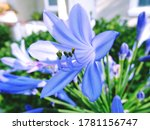 Agapanthus Flowers On Blurred...