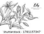 Lily Flower And Leaf Hand Drawn ...