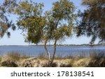 A Paperbark Or Melaleuca Tree...