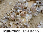 Close Up Image Of Barnacles On...