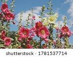 Colourful Hollyhocks  Or 'alcea'...
