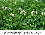 Young Flowering Potato Bushes...