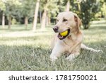 Smiling Labrador Dog In The...