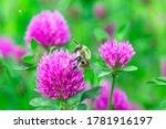 Bumblebee Pollen On Pink Clover....