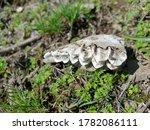 Bone Of Animal Skulls Teeth An...