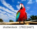 Red Parrot Scarlet Macaw. Ara...