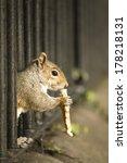 squirrel eating bread | Shutterstock . vector #178218131