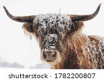 Snow Covered Highland Cow....