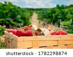 Many Fresh Red Strawberries In...