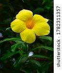 Yellow Bell Flower Of Summer I...