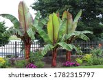 Three Red Leaf Abyssinian Banana Trees, Ensete ventricosum, orange Zinnias, pink Impatiens, and other various flowering plants growing along a fence at Rotary Botanical Gardens in Wisconsin, USA