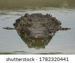 American Crocodile Front View...