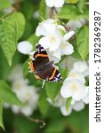 butterfly, Red Admiral, collecting nectar of white flowers(sweet mock oranges, Philadelphus coronarius )