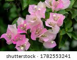 Bougainvillea Flowers And...