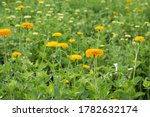 Chrysanthemums Bloom In The...