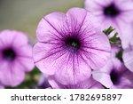 Close Up Of  Violet Petunia...
