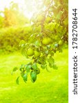 Green Pears On A Tree Branch I...