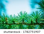 Close Up Of Pine Cones On...