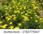Numerous Bright Yellow Flowers...