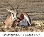 A Pronghorn Rests In The Grass...