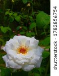 Small photo of Voluptuous white rose on a background of green leaves. Massive flower illuminated by the sun in spring
