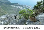 Dassie On Top Of Table Mountain ...