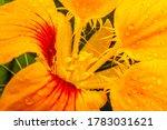 Beautiful Nasturtium  Edible...