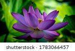 Purple Lotus Flower In Bloom...