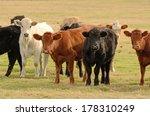 Large Herd Of Angus Cross Beef...