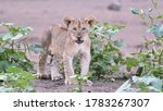 Lion  panthera leo  mammal  cat