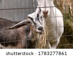 Grey Young Goat Eating Hay...