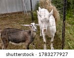 Two Funny Young Goats Behind A...