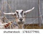 Young Goat Closeup Behind A...