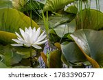 Lotus Flower And Lilypads On...