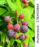 Juicy Ripening Berries Of...