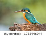 A Common Kingfisher  Alcedo...