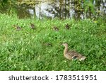 Wild Duck With Ducklings On The ...