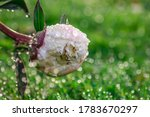 Beautiful Rose Flower With ...