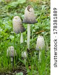 Small photo of Amanita phalloides, death cap family in the grass