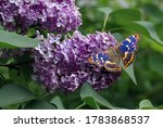Colorful Blue Butterfly On A...
