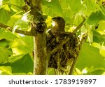 A Female Blue Grosbeak Sitting...