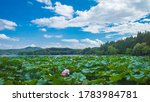 View Of Lotus Leaves And...