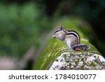 Squirrel Eating Peanut While...